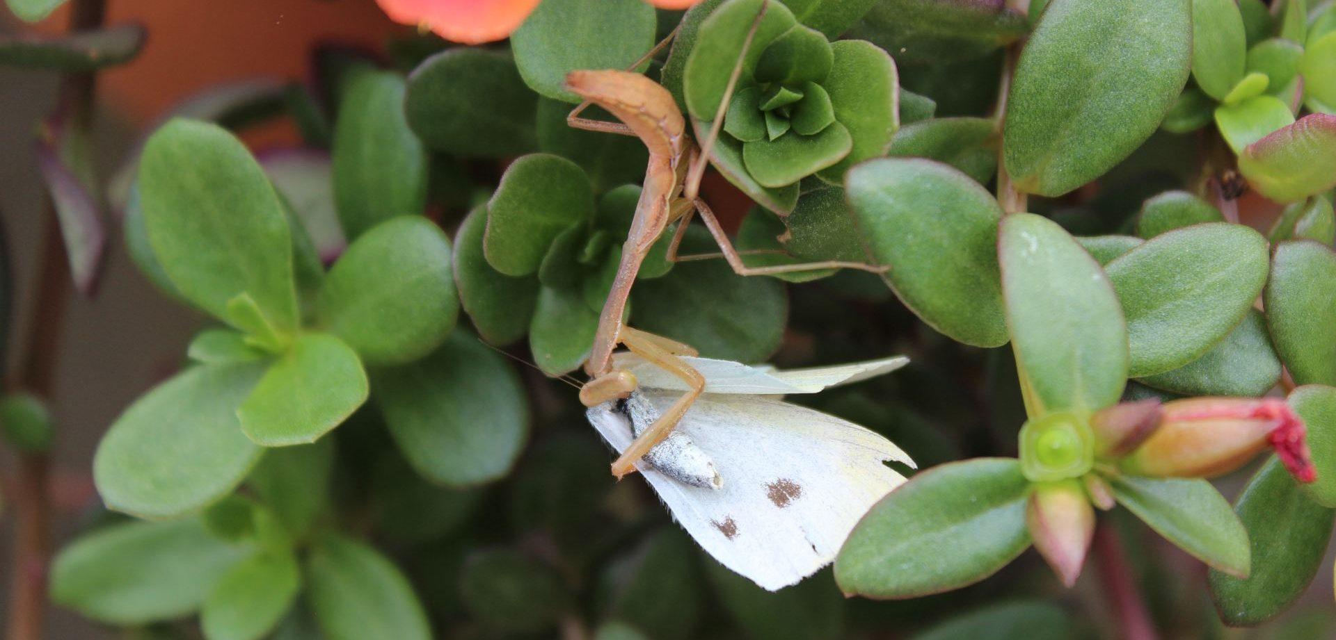 Attack of the killer Mantis